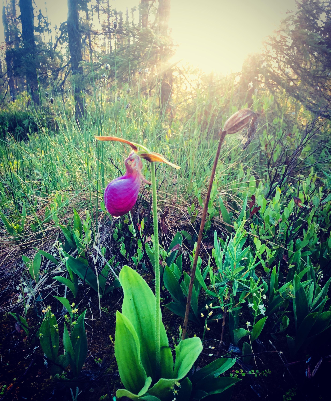 TMI_Pink_Ladyslipper_Orchid_edited.jpg
