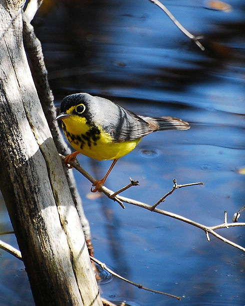Canada_warbler_Species_at_Risk_edited.jpg