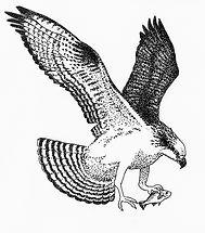 osprey-with-white-perch-edith-thompson.j