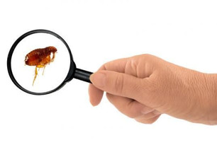 E as pulgas... Como evitá-las?