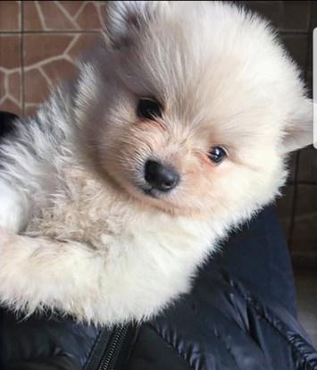 Lulu da pomerânia - spitz alemão - filhote