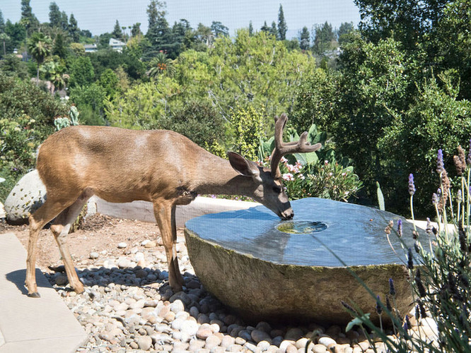 Deer like our fountains.
