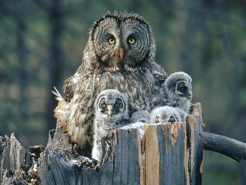 gray owl owlets