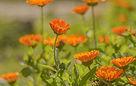 plantes-annuelles-semi-rustique.jpg