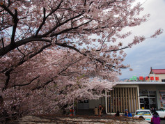JR南小樽駅の桜