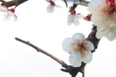 手宮公園の梅の花