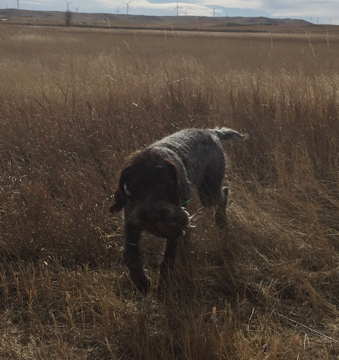 Wirehaired Pointing Griffon, Colorado, Greenhorn Mountain Griffs, Chili with a Quail