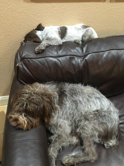 Wirehaired Pointing Griffon, Colorado, Greenhorn Mountain Griffs, Spicy Pepper with Chili as puppy on couch
