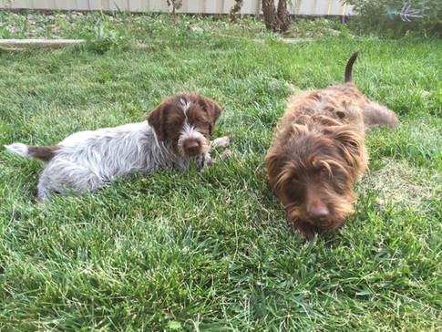 Wirehaired Pointing Griffon, Greenhorn Mountain Griffs Spicy Pepper with CiCi