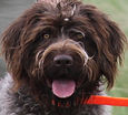 Wirehaired Pointing Griffon, Greenhorn Mountain Spicy Pepper, Colorado