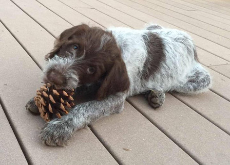Wirehaired Pointing Griffon, Greenhorn Mountain Griffs, Chili