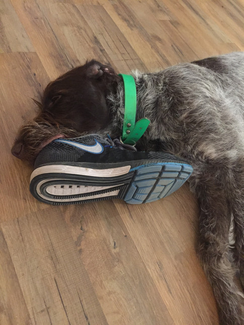 Wirehaired Pointing Griffon, Colorado, Greenhorn Mountain Griffs, Chili with shoe