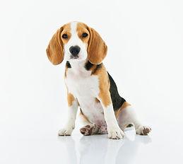 beagle lazysit-1345191.jpg