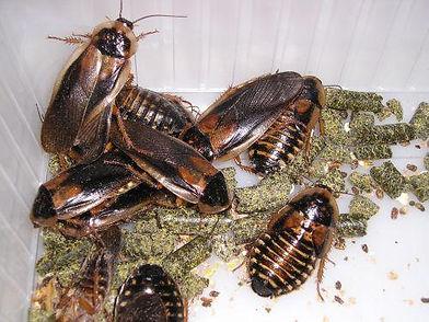 p20-kakkerlakken.jpg