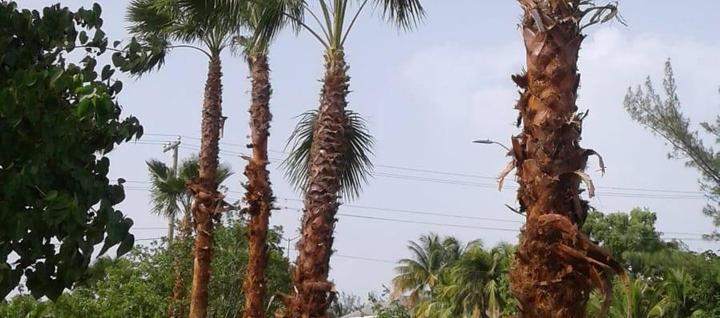 Planting of palm trees . . #Palms #Trees #Replanting #WellnessGarden #SevenMileBeach #CaymanIslands #RobsonConstruction