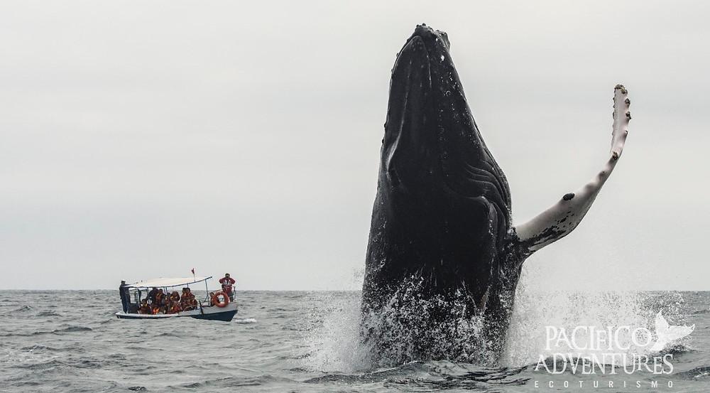 avivamiento de ballenas en Los Organos