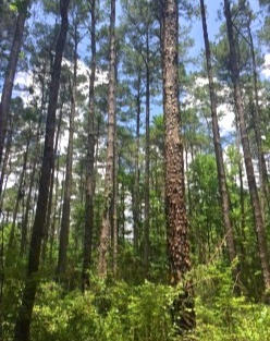 High Volume Pine Logs
