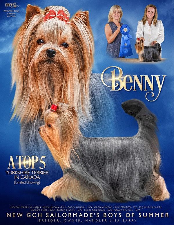Benny Yorkshire Terrier