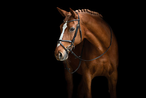 Elegant horse portrait on black backroun