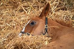 A foal sleeping inside stables.jpg
