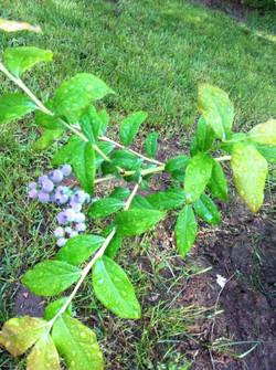 blueberry tree w berry