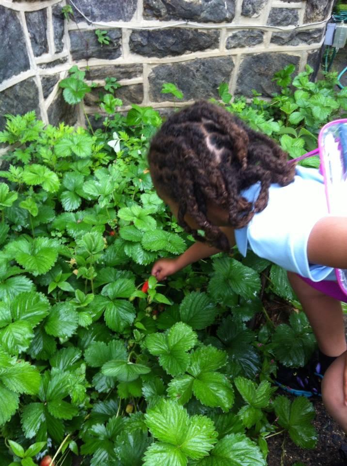 Shob picking Stw berry