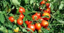 organik-domates- havasu otel tatil