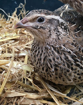 japanese-quail-for-sale-in-shropshire-57