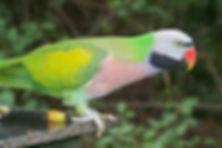 Mustache-Parakeet-Images.jpg
