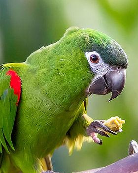 Hahns-Macaw.jpg