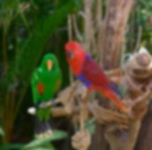Eclectus_Parrot.94d3501.width-800.3fc4d9
