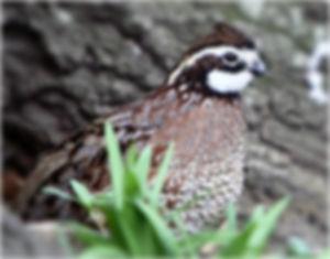 bobwhite-quail.jpg