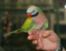 Red-Breasted-Parakeet.jpg