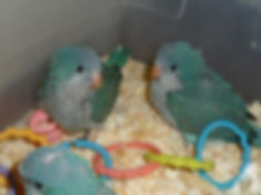 baby-quaker-parrots-americanlisted_44474