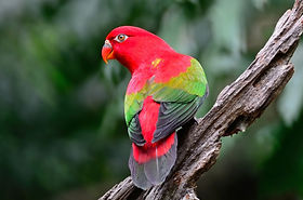 chattering-lory.jpg