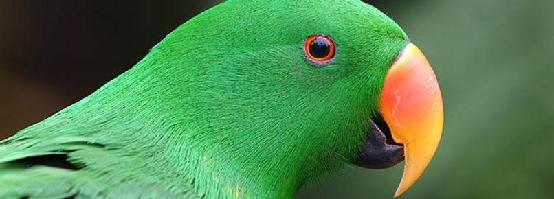 eclectus-parrot.jpg