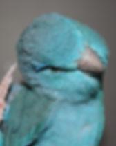 Forpus_coelestis_(blue).jpg
