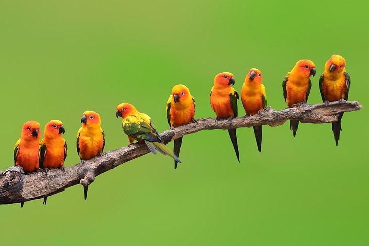 1280-1200-509186942-sun-conure-parrot.jp