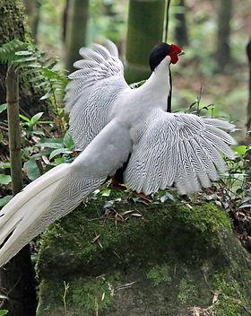 Silver_Pheasant_04.jpg