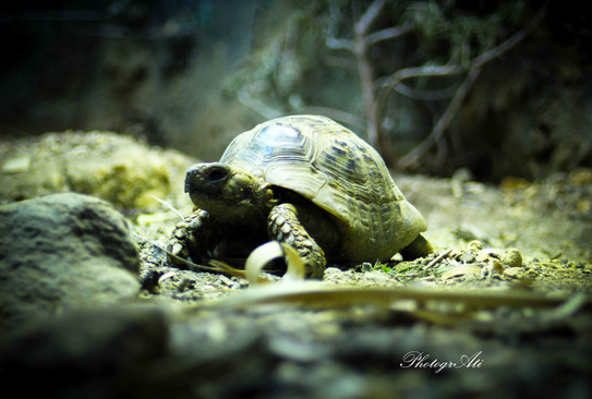 Greek Spur-Thighed Tortoise