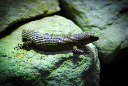 Gidgee Spiny-Tailed Skink