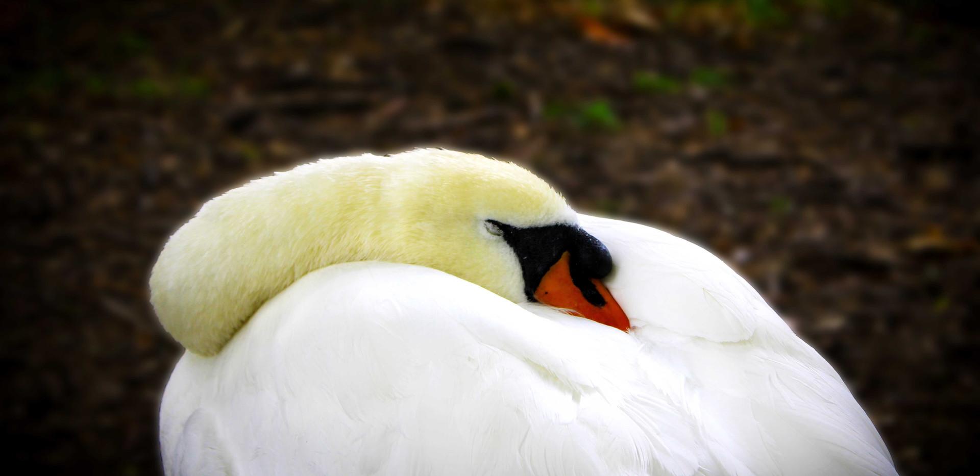 Sleeping Beauty Swan in Green Park