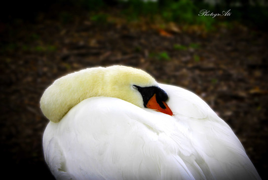 Sleeping Beauty Swan in Green Park