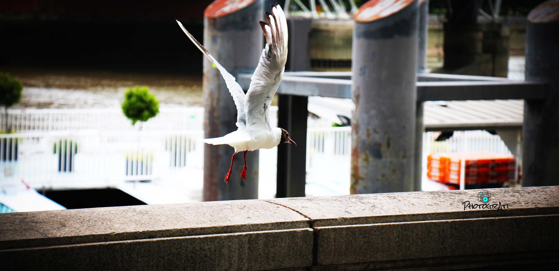 Seagull outside Embankment Station
