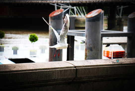 Seagull outside Embankment Station