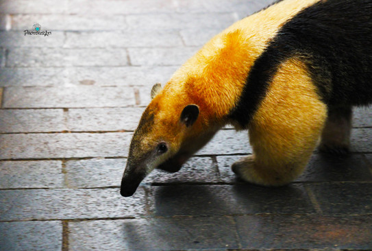 Tamandua on the run