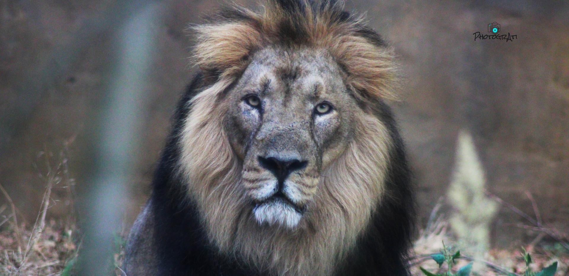 Bhanu the lion