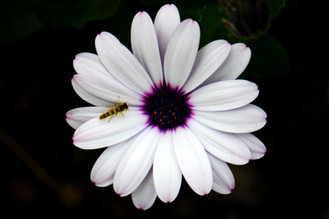 White Osteospermum Daisy with a bee