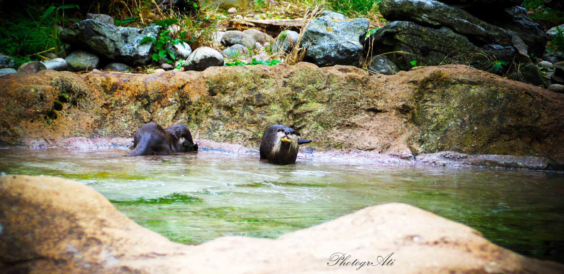 Oriental small-clawed otters - Pip and Matilda blury-preloadresized-preloadHanuman Langur Monkey  Oriental small-clawed otters - Pip and Matilda