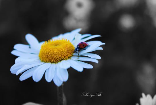 Daisy with a Ladybird
